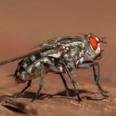 Sarcophagidae sp. (family) (Unidentified flesh fly) at Symonston, ACT - 12 Mar 2020 by rawshorty