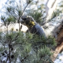 Calyptorhynchus lathami (Glossy Black-Cockatoo) at Penrose - 13 Mar 2020 by Aussiegall