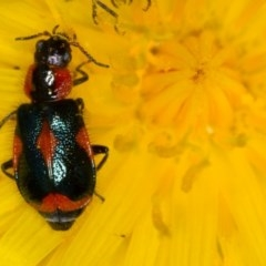 Dicranolaius villosus (Melyrid flower beetle) at Bruce, ACT - 23 Nov 2013 by Bron