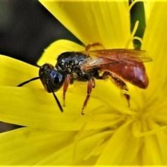 Exoneura sp. (genus) (A reed bee) at Namadgi National Park - 13 Mar 2020 by JohnBundock