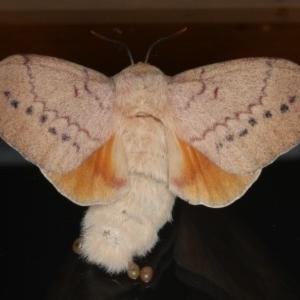 Entometa undescribed species nr fervens at Ainslie, ACT - 13 Mar 2020