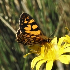 Oreixenica lathoniella at Namadgi National Park - 13 Mar 2020