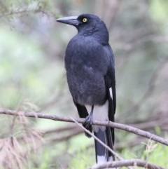 Strepera graculina (Pied Currawong) at Jerrabomberra Wetlands - 13 Mar 2020 by jbromilow50