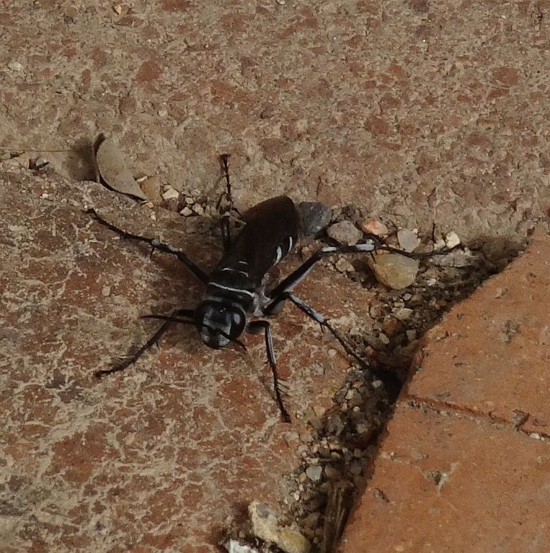 Turneromyia sp. at Brogo, NSW - 14 Mar 2020