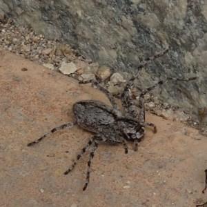 Holconia immanis at Brogo, NSW - 14 Mar 2020