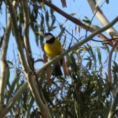 Pachycephala pectoralis (Golden Whistler) at Tidbinbilla Nature Reserve - 12 Mar 2020 by RodDeb