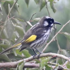 Phylidonyris novaehollandiae (New Holland Honeyeater) at Wingecarribee Local Government Area - 14 Mar 2020 by GlossyGal