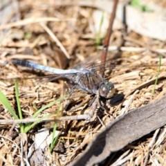 Orthetrum caledonicum (Blue Skimmer) at Tidbinbilla Nature Reserve - 12 Mar 2020 by RodDeb