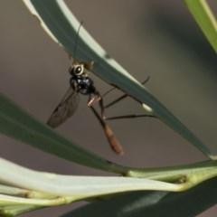 Ichneumonidae sp. (family) (Unidentified ichneumon wasp) at The Pinnacle - 9 Mar 2020 by AlisonMilton