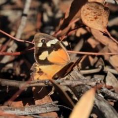 Heteronympha merope (Common Brown) at ANBG - 12 Mar 2020 by AlisonMilton