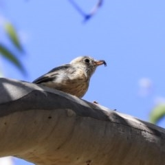 Pachycephala rufiventris (Rufous Whistler) at ANBG - 12 Mar 2020 by Alison Milton