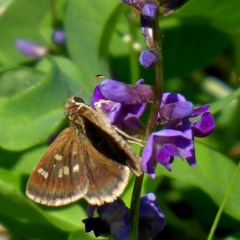 Toxidia parvulus (Banded Grass-skipper) at Brogo, NSW - 15 Mar 2020 by MaxCampbell