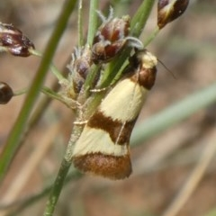 Chrysonoma fascialis (A concealer moth) at Tuggeranong Hill - 15 Mar 2020 by Owen