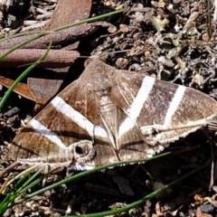 Grammodes oculicola (Smalleyed Box-Owlet) at Piney Ridge - 15 Mar 2020 by Kurt