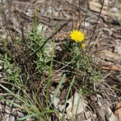 Rutidosis leptorhynchoides (Button wrinklewort) at Stirling Park - 15 Mar 2020 by aliboogy