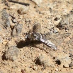 Villa sp. (genus) (Unidentified Villa bee fly) at ANBG - 13 Mar 2020 by AlisonMilton