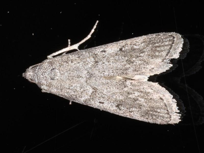 Heteromicta pachytera at Ainslie, ACT - 11 Mar 2020