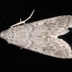 Heteromicta pachytera (Pyralid moth) at Ainslie, ACT - 11 Mar 2020 by jbromilow50