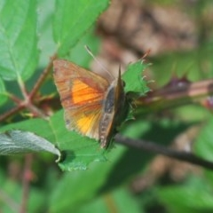 Paralucia aurifer (Bright Copper) at Woodstock Nature Reserve - 7 Mar 2020 by Harrisi