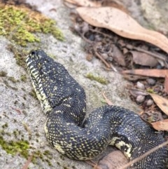 Morelia spilota spilota (Diamond Python) at - 15 Mar 2020 by Aussiegall