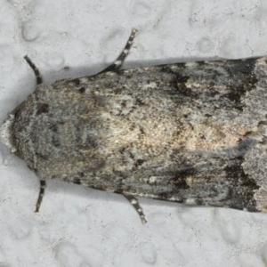 Thoracolopha verecunda at Ainslie, ACT - 11 Mar 2020