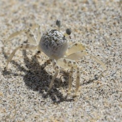 Ocypode cordimana (Ghost crab) at Comerong Island, NSW - 2 Mar 2018 by CRSImages