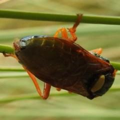 Perga sp. (genus) at ANBG - 16 Mar 2020