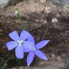 Wahlenbergia sp. (Bluebell) at Coree, ACT - 11 Mar 2020 by JaneR