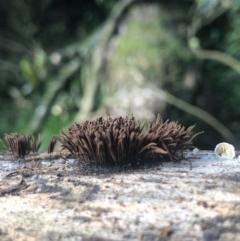 Stemonitis fusca at Wattamolla, NSW - 16 Mar 2020 by WattaWanderer
