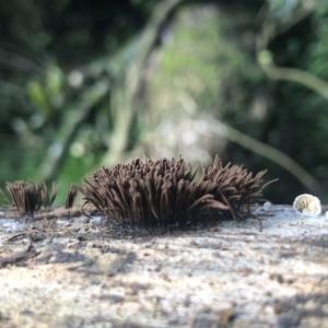 Stemonitis fusca at Wattamolla, NSW - 16 Mar 2020
