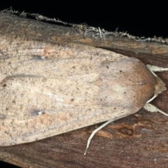 Mythimna convecta (Common Armyworm) at Mount Ainslie - 10 Mar 2020 by jbromilow50