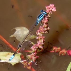 Ischnura heterosticta at Jerrabomberra Wetlands - 16 Mar 2020