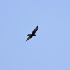 Circus approximans (Swamp Harrier) at Fyshwick, ACT - 16 Mar 2020 by RodDeb