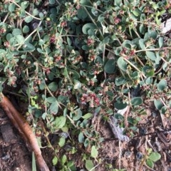 Euphorbia dallachyana (Mat Spurge, Caustic Weed) at Hughes Garran Woodland - 16 Mar 2020 by ruthkerruish