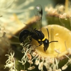 Hylaeus (Prosopisteron) primulipictus (Hylaeine colletid bee) at ANBG - 17 Mar 2020 by PeterA