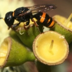 Crabroninae sp. (subfamily) (Unidentified solitary wasp) at ANBG - 17 Mar 2020 by PeterA