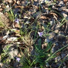 Wahlenbergia sp. (Bluebell) at Deakin, ACT - 17 Mar 2020 by JackyF