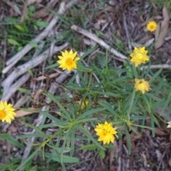 Xerochrysum viscosum (Sticky everlasting) at Hughes Grassy Woodland - 17 Mar 2020 by JackyF