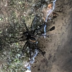 Dolomedes sp. (Fishing spider) at Wattamolla, NSW - 17 Mar 2020 by WattaWanderer