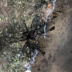 Dolomedes sp. at Wattamolla, NSW - 17 Mar 2020