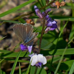 Zizina otis labradus (Common Grass Blue) at Brogo, NSW - 15 Mar 2020 by MaxCampbell