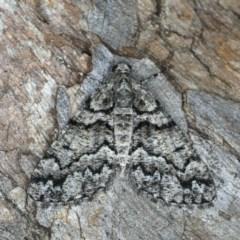 Lipogya exprimataria (Jagged Bark Moth) at Mount Ainslie - 10 Mar 2020 by jbromilow50