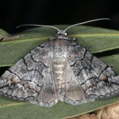 Dysbatus singularis (Dry-country Line-moth) at Mount Ainslie - 10 Mar 2020 by jbromilow50