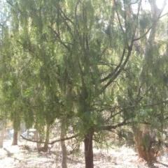 Exocarpos cupressiformis (Cherry Ballart) at Greenleigh, NSW - 18 Mar 2020 by LyndalT