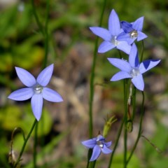 Wahlenbergia capillaris (Tufted Bluebell) at Brogo, NSW - 14 Mar 2020 by MaxCampbell