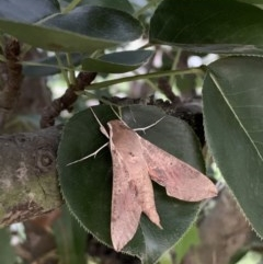 Hippotion scrofa (Coprosma Hawk Moth) at Quaama, NSW - 11 Mar 2020 by FionaG