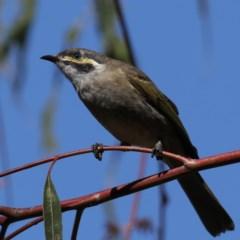 Caligavis chrysops (Yellow-faced Honeyeater) at Jerrabomberra Wetlands - 18 Mar 2020 by jbromilow50