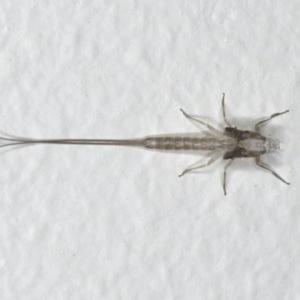 Ephemeroptera sp. (order) at Ainslie, ACT - 18 Mar 2020