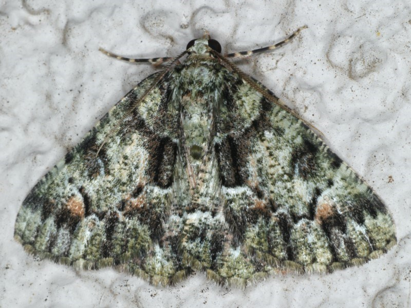 Aeolochroma metarhodata at Ainslie, ACT - 17 Mar 2020