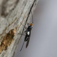 Callibracon capitator (White Flank Black Braconid Wasp) at Michelago, NSW - 7 Mar 2020 by Illilanga